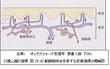 皮膚の微小循環系